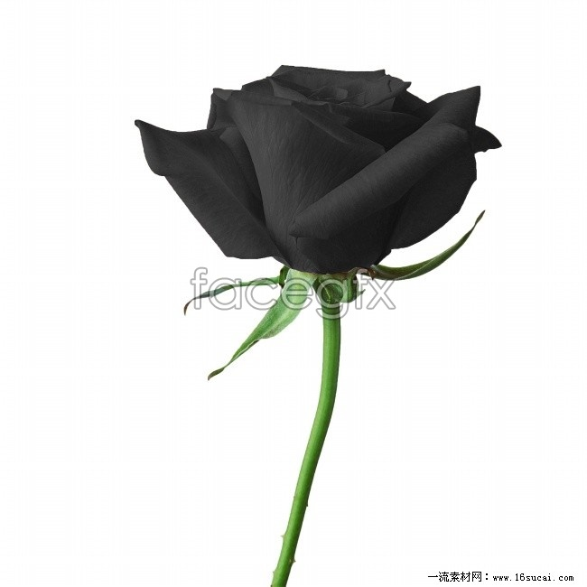 Black roses HD picture