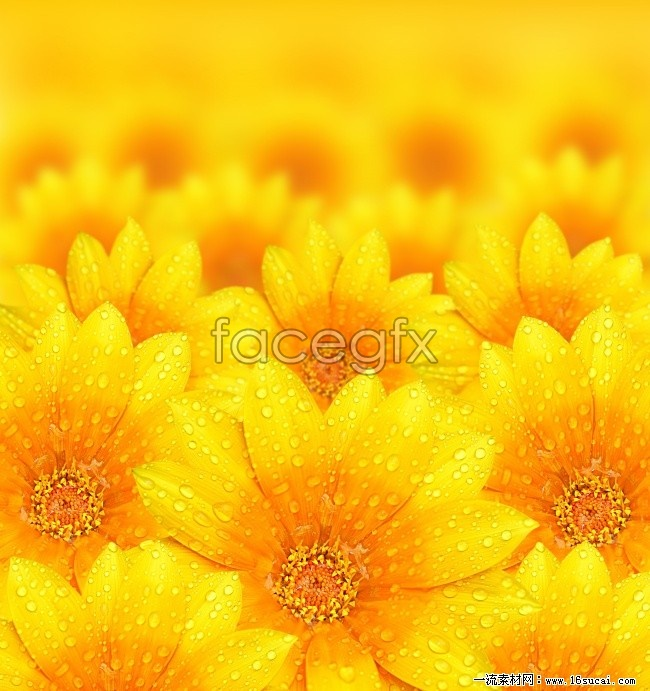 Hi-def yellow Daisy picture