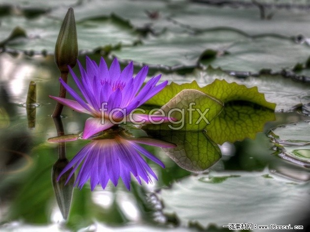 Purple Lotus high definition pictures