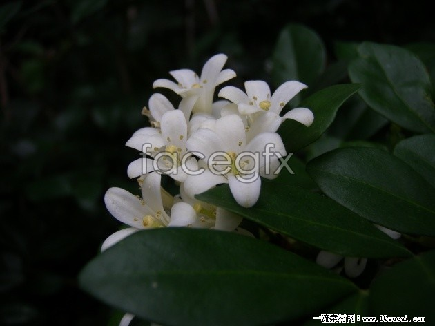 White, sweet-scented osmanthus HD picture