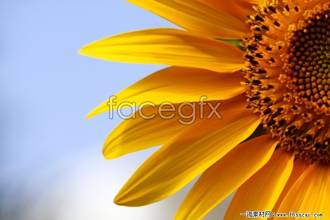 High-definition sunflower picture