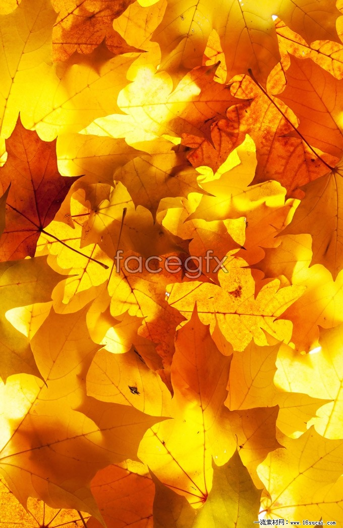 Autumn Maple Leaf Chinese Restaurant high definition pictures