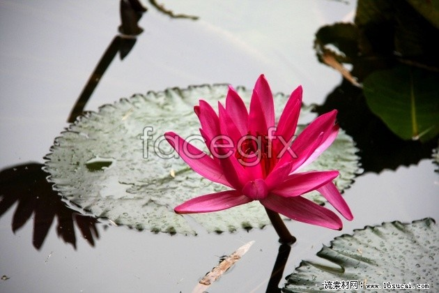 Painting the Lotus high definition pictures