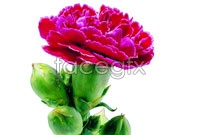 Purple carnations flowers HD pictures