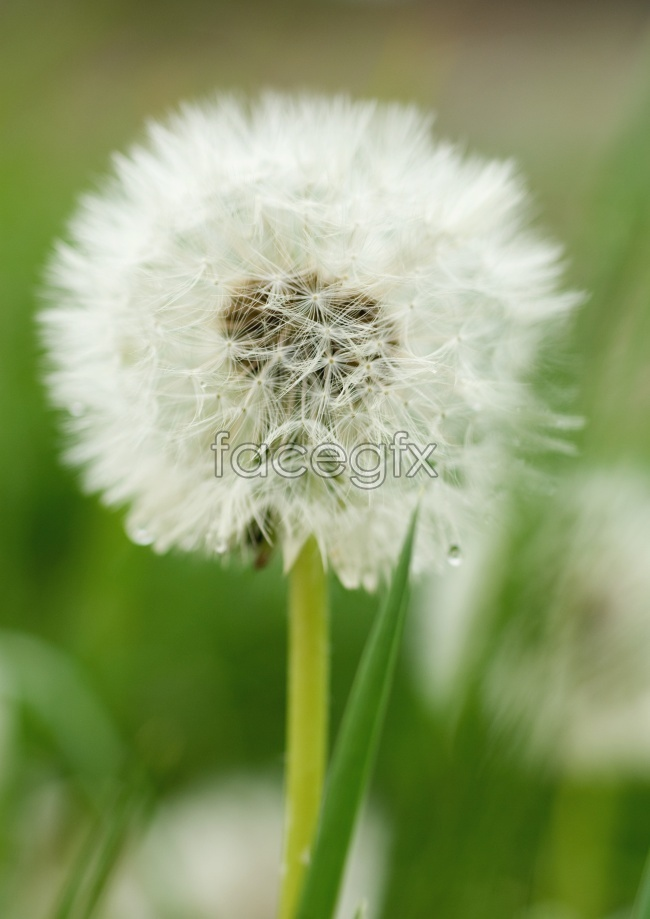 Beautiful HD dandelion pictures