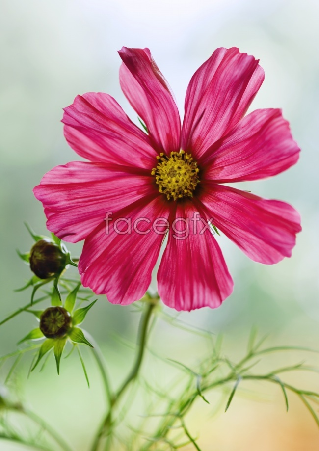 Fresh red gesang flower picture