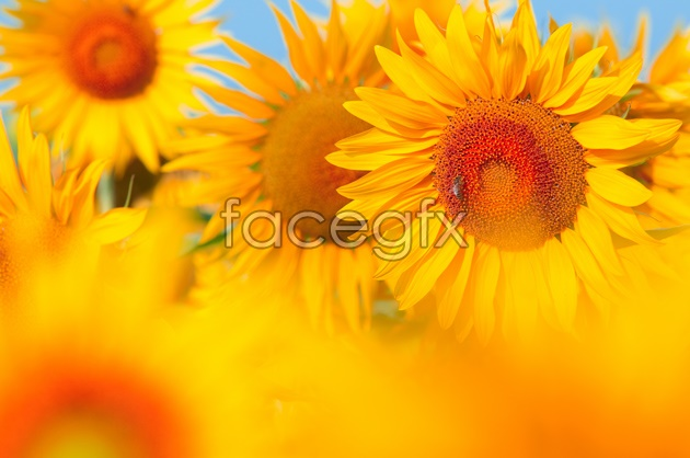 Beautiful sunflower picture