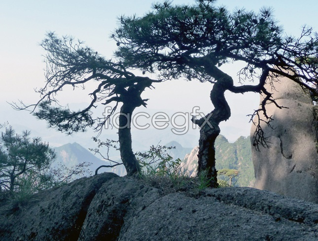 High-clear pine picture