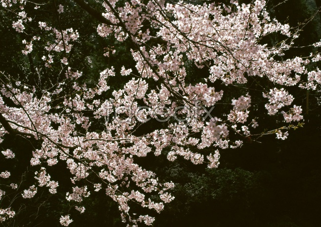 Pink plum blossom pictures