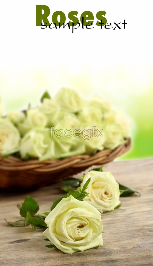 Romantic white roses pictures