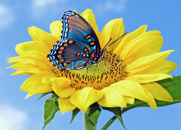 Butterfly Daisy pictures HD