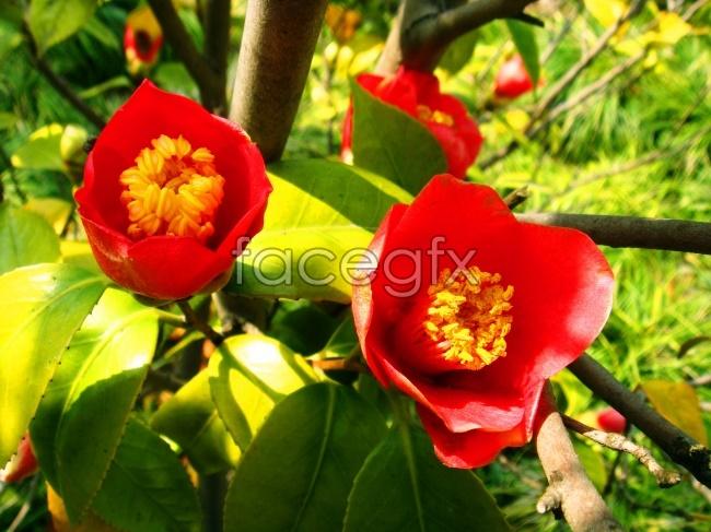 Camellia pho