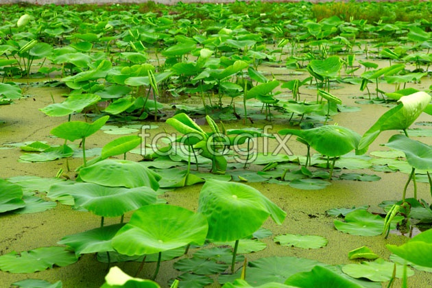 HD pond Lotus Leaf pictures