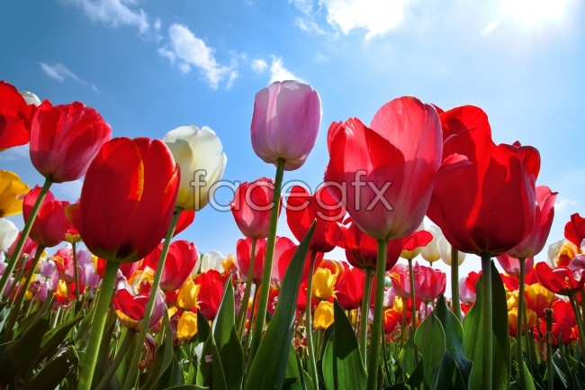 Red tulips HD pictures