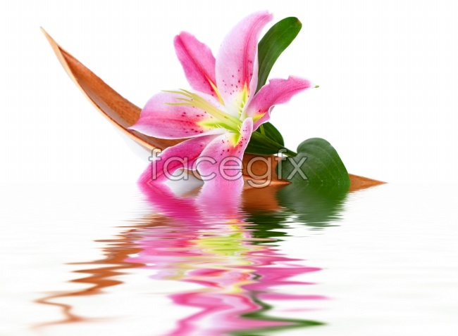 Water lily flower picture material