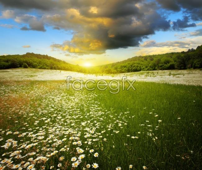 A chrysanthemum desktop wallpaper