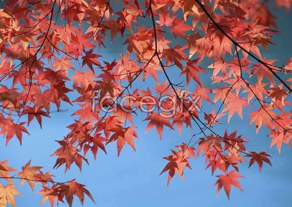 HD Maple Leaf Chinese Restaurant image