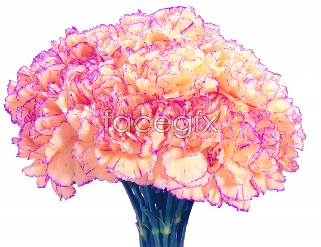 Pink Carnation picture