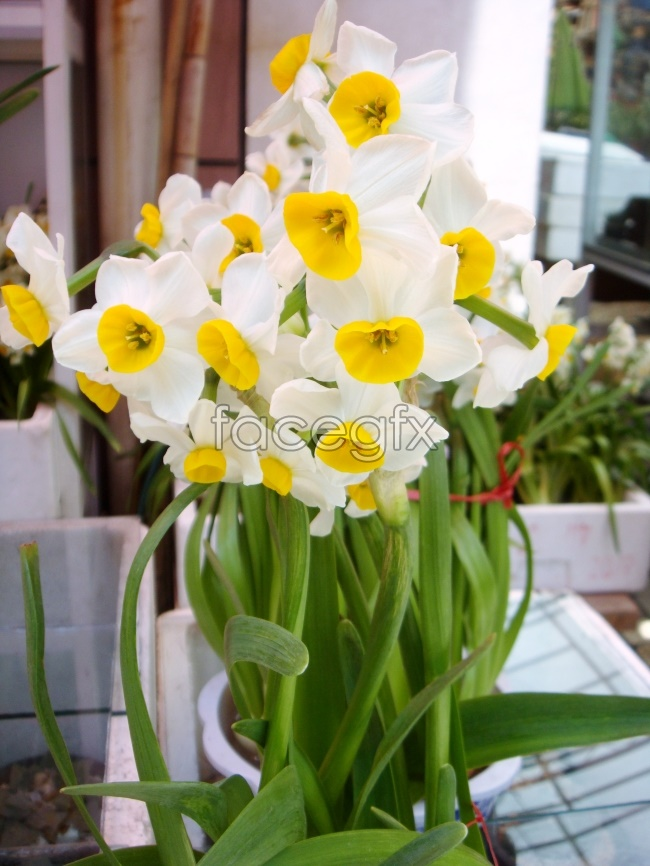 Fresh daffodils pictures