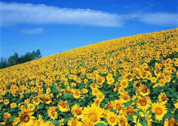 Thousand flower 631