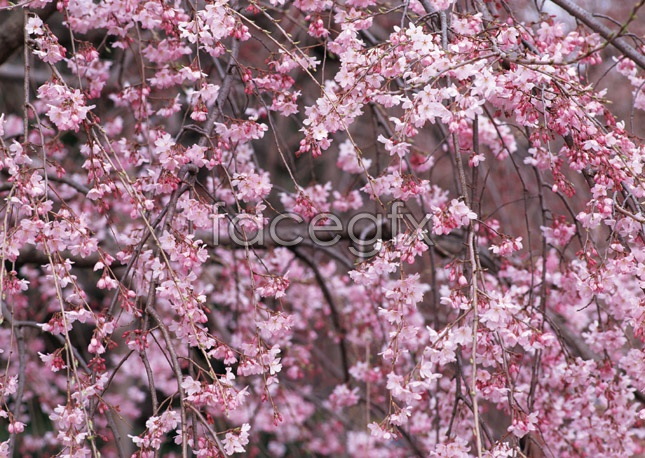 Peach flowers picture