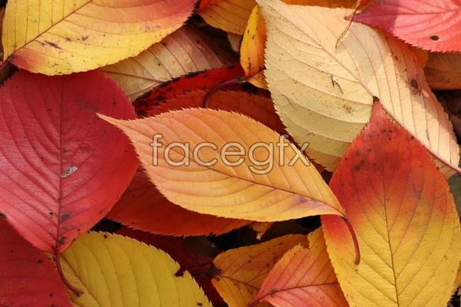 Red leaf HD Pho