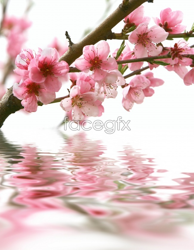 Surface of plum blossom pictures