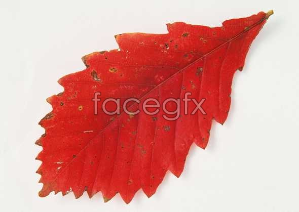 Toothed leaves of Red picture