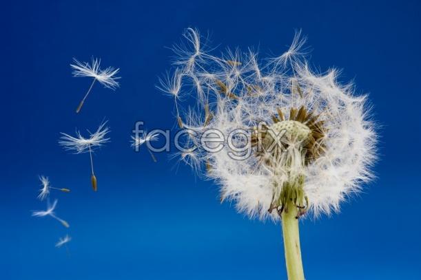 Dandelion HD picture
