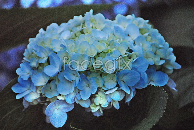 HD blue flower pictures