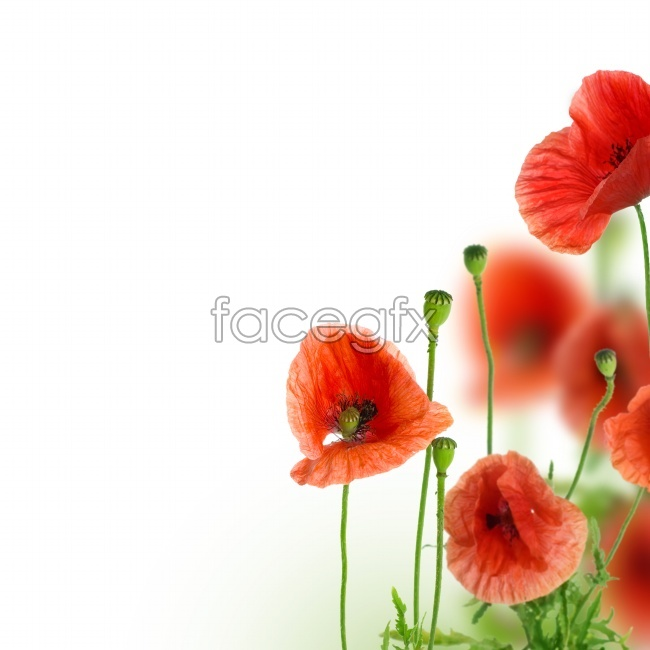 HD poppy picture