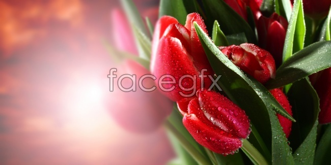 HD red tulips pictures
