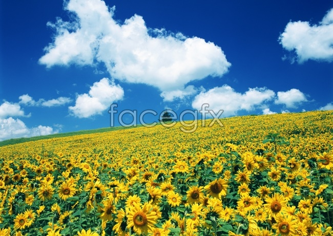 Beautiful white clouds and blue sky sunflower high definition pictures
