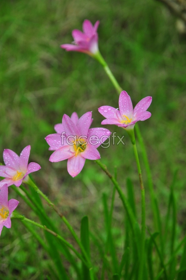 HD pink daffodils flowers picture HD picture