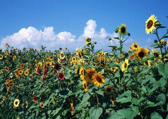 HD sunflower garden pictures