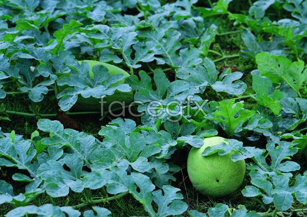 Jadeite watermelons picture