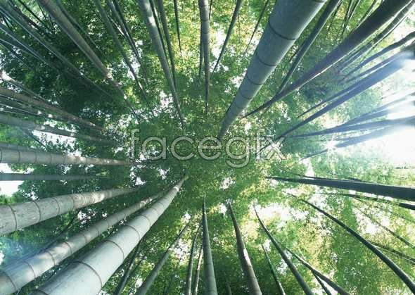 Look up bamboo forest high definition pictures