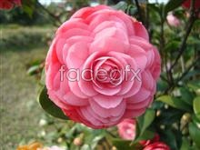 Yunnan red flower picture