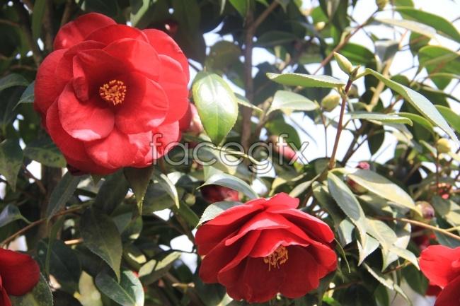 Leafy Camellia pho