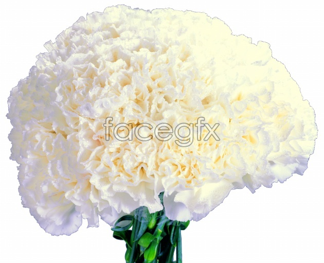 White carnations HD picture