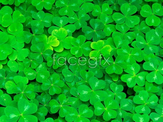 Green four-leaved clover pictures