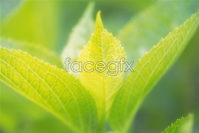 Leaf HD Pho