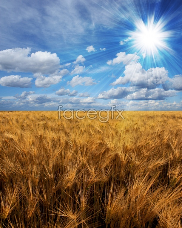 Paddy landscape picture in HD