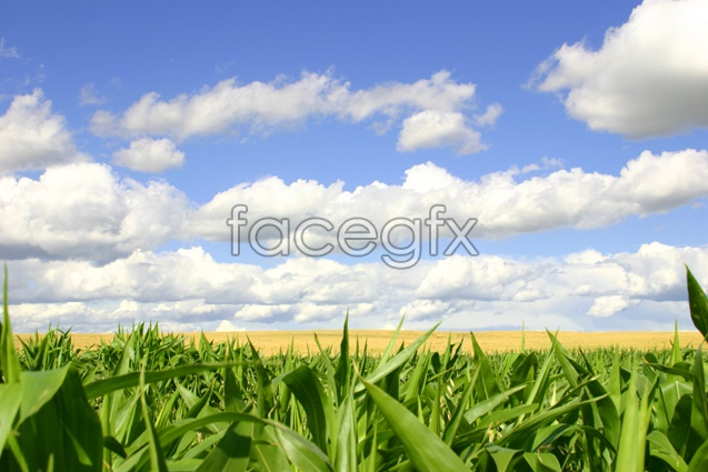 Rice field scenery picture