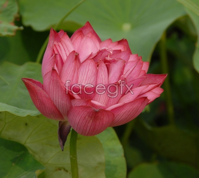 Bright-colored water lily pictures