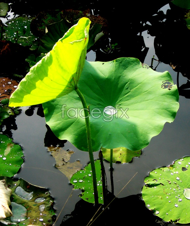 Lotus Leaf pictures HD