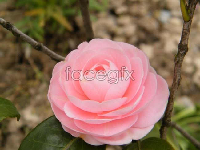 Pink Camellia pho