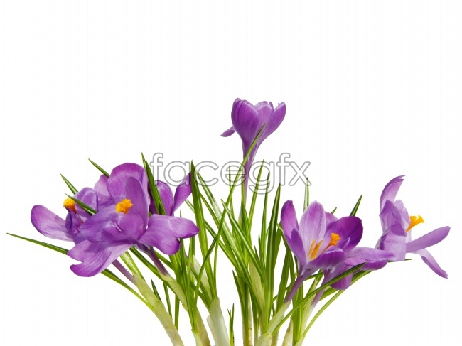 Purple Daffodil pictures
