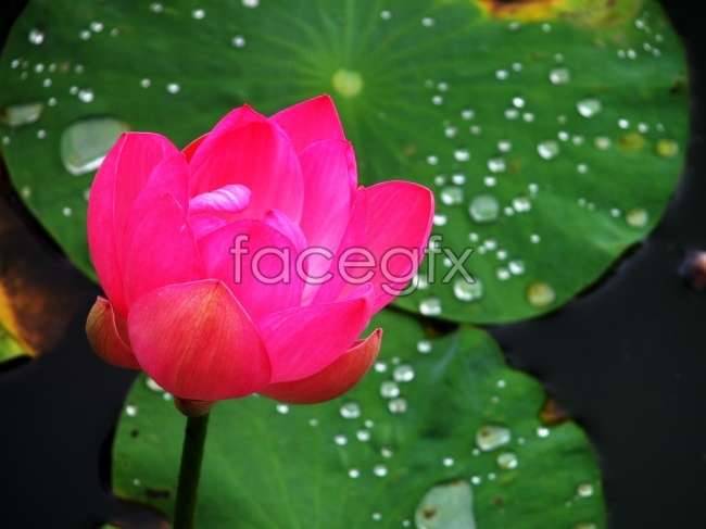 Red Lotus picture
