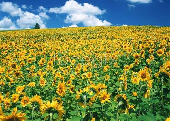 Thousand flower 630